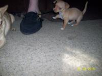 We have 1 lovable chihuahua young puppy for sale to a