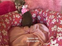 Be my valentine. Chihuahua puppy blue female nine