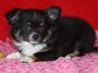 I have a stunning black/tan/white female young puppy.