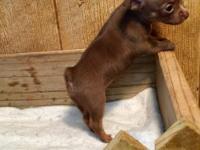 Sweet chocolate chihuahua puppy ready for adoption in a
