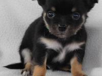 Registered CHIHUAHUA puppies for sale. Shots are