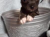 Adorable smooth coat dark blue(gray) female Chihuahua