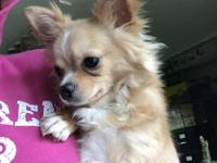 Eddie is an active, happy, playful longhair Chihuahua.