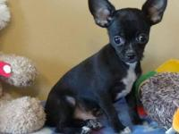 CKC registered black male Chihuahua puppy, $500.00,