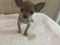 Kaysey is apple chihuahua! She weighs approx 1.2 lbs