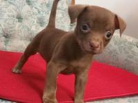 """Choco"" is A SWEETIE CHOCOLATE SHORT COAT MALE"