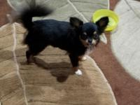 Boomer is 1 yr old Tri color Long coated AKC Chihuahua