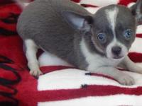 AKC registered blue male chihuahua puppy, champion