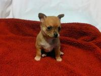 Chihuahua, male, CKC registered, shots and worming up