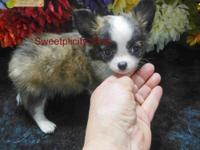 """Typo"" is a long coat male EXTREMELY SMALL Chihuahua"