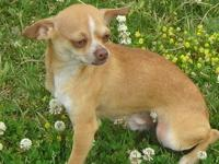 AKC registered red male chihuahua puppy, he is a small