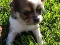 Very cute and sweet long haired Chihuahua female. She