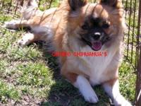 Shadow is a big boy. Listed price is for pet. He is AKC