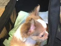 AKC Chelsie is a Long Haired Chihuahua and she is a