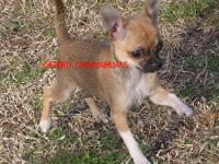 Small sabled Fawn smooth coat girl. To small for