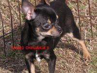 Akc Cute black and Tan smooth coat girl. Super sweet