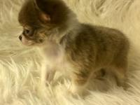 AKC Tiny Chloe is a Long Haired Chihuahua and she is a
