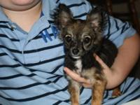 I am a 5 month old Chihuahua Puppy. I was born on