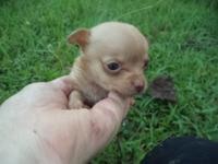 Male chihuahua puppies for sale in Trussville, AL., ckc