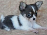 Wonderful chihuahua female , she is long hair , 3