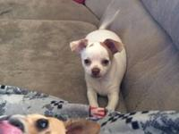 Adorable male chihuahua puppy , home raised totally