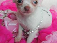 Litter AKC Chihuahuas. one spotted male and one white