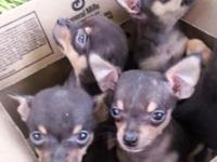 Tiny Micro - Mini (Teacup) Male Chihuahua Puppy