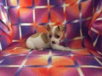 Adorable sweet purebred Chihuahua 5 months old he is
