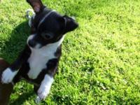 I have one female chihuahua puppy left offered to a