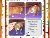 Up for sale are 5 lovable Chihuahua young puppy's, all