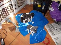 chihuahua puppy's 2 males 1 blue/gray and white male