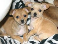 Chihuahua puppy's brown one is a female and the cream