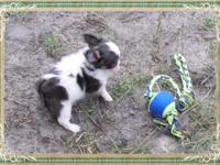 Beautiful male chihuahua puppy long coat with a nice