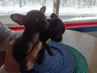 I have 2 chihuahua pups ready for their new homes. Both
