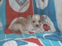 Chihuahua Puppies. Birthed 12/13/13. Rate is 100.00 no