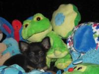 Chihuahua Pups, CKC Registered, 10-12 Weeks Old, We