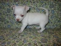 Charming chihuahua young puppies, 2 clutters to select