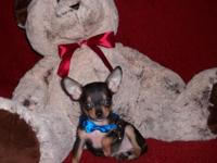 Chihuahua Pups, Male & Female, Short Coat Cuties, 9