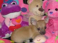 Chihuahua Pups Male & Female, CKC Registered, 8-10