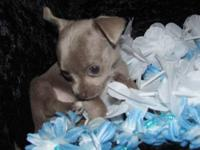 CHIHUAHUA PUPS TEENY TINY!!!!! MALE & FEMALE LONG &
