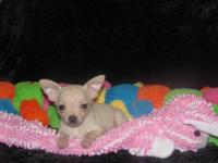 "Chihuahua Pups "" TINY"" CKC Registered Male & Female - 9"