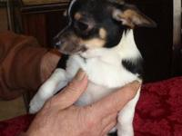 Purebred Female Chihuahua, applehead, smooth coat pup