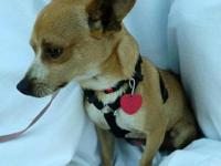 Chihuahua - Ray - Small - Young - Male - Dog Ray is a