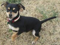Chihuahua - Rif - Small - Baby - Male - Dog Updated
