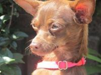 Chihuahua - Ritzy - Small - Adult - Female - Dog