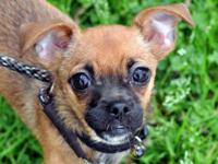 Chihuahua - Rocket - Small - Baby - Male - Dog You can