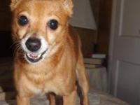 Chihuahua - Rocko - Small - Adult - Male - Dog Rocko is