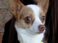 Chihuahua - Rolo-2869 - Small - Adult - Male - Dog