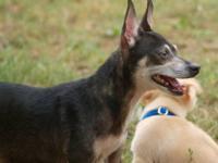 Chihuahua - Rosa - Small - Adult - Female - Dog Rosa