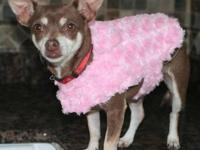 Chihuahua - Rosey - Small - Adult - Female - Dog Rosey